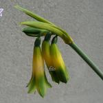 Phaedranassa viridiflora