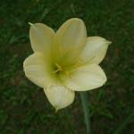 Crinum flaccidum luteolum