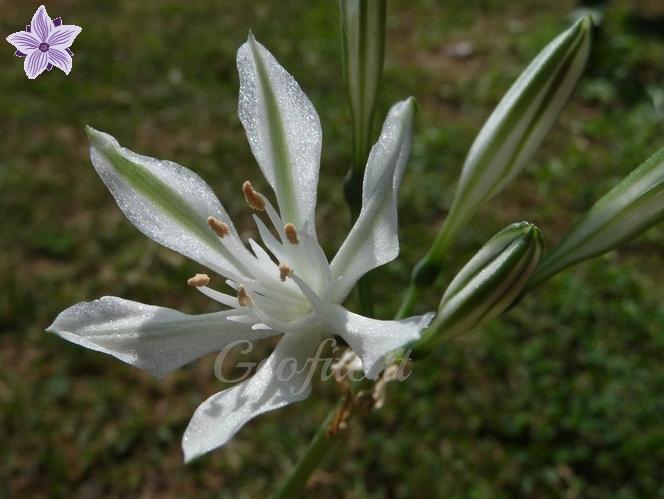 Vagaria parviflora