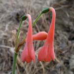 Stenomesson aurantiacum
