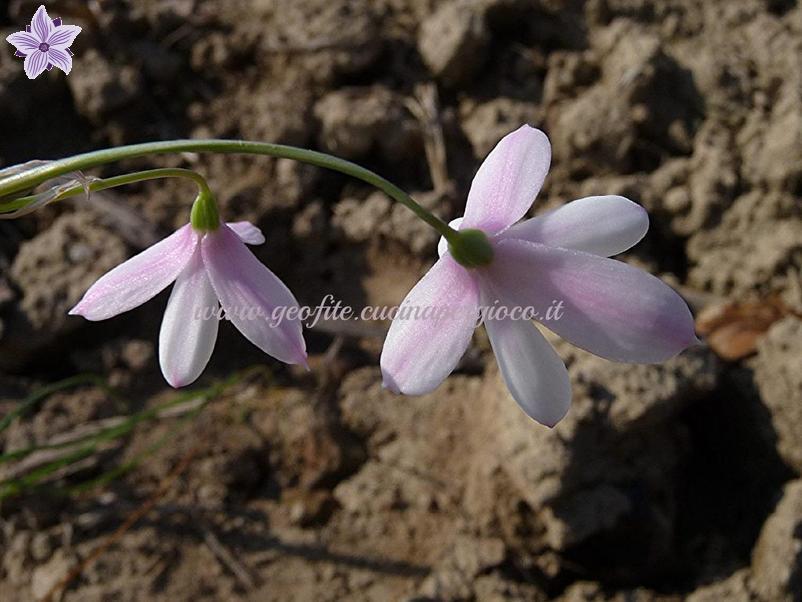 Acis trichophylla