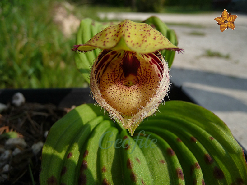 Cypripedium fargesii